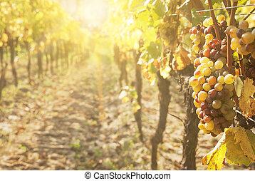 szlachetny, winogrono, botrytised, winogrona, gnicie, wino