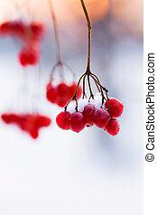 sztuka, gałąź, czerwony, dojrzały, jagody, w, śnieg,...