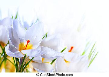 sztuka, piękny, wiosna, biały, krokus, kwiaty, na białym, tło