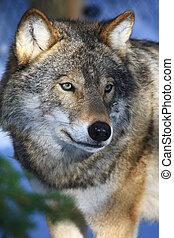 szwecja, wilk