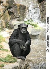 szympans, wywieszając