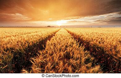 táj, noha, búza terep, mezőgazdaság, -, panoráma