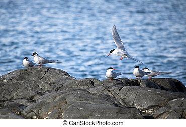 tärnor, arktisk, naturlig, habitat