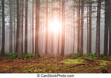 tät, bristande, sol, träd, höst, dimma, genom, skog, falla,...