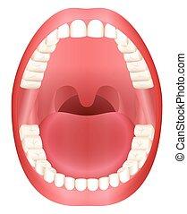tænder, åben gab, voksen, dentition