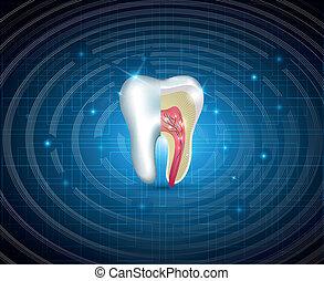 tænder, kors sektion, smukke, illustration