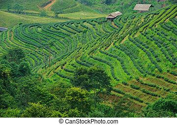 tè, chiangmai, mattina, campo, nebbia, thailand., paesaggio