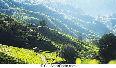 tè, mattina, piantagione, fresco, fog., foschia, vista