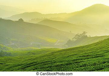 tè, pianta, luce sole