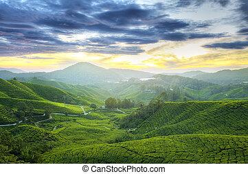 tè, plantations.