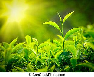 té, brote, y, hojas