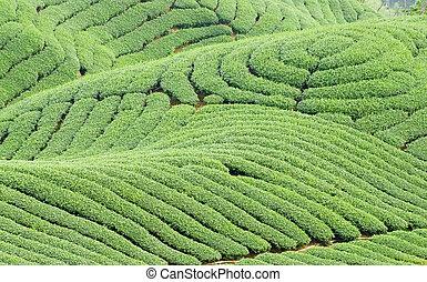 té, complejo, landform, árboles