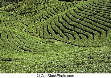 té, medio, gua, taiwán, ba, jardín