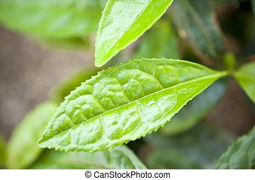 té, planta, sinensis de camelia