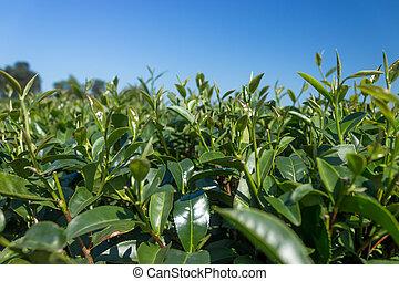 té verde, hoja, con, cielo azul