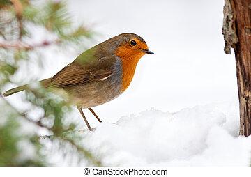 tél, vörösbegy, fenyőfa, és, hó