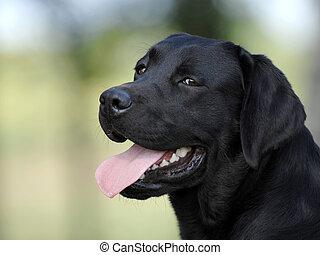 tête, chien noir