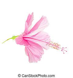 tête, doux, isolé, hibiscus, fleur, fond, rose, blanc