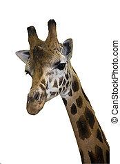 tête, girafe