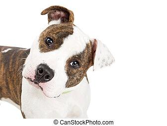 tête, inclinable, staffordshire, chien, américain, closeup