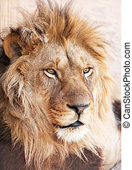 tête, portrait, de, lion, animal