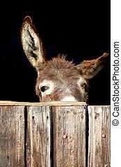 tímido, burro