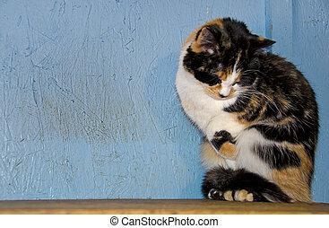 tímido, gato calico