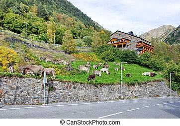 típico, escuro, tijolo, andorra, casa, com, pastar, vacas