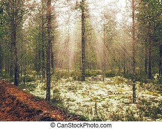 tôt, levers de soleil, forêt, pin, matin