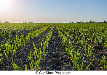 tôt, printemps, blé, champ vert