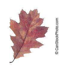 tölgy leaf, elszigetelt, white, háttér