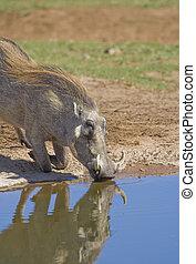 törstig, vårtsvin