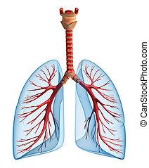 tüdő-, -, rendszer, tüdő