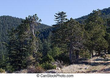 türkei, berg, schmutz, forest., zeder, weg, straße