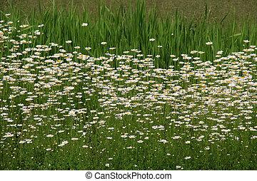 tło, od, trawa, i, margerytki