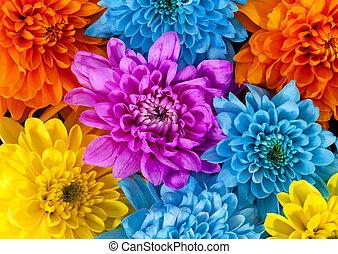 tło, pomarańcza, do góry, różowy, żółty, barwny, zamknięcie, chryzantema, błękitny, kwiaty