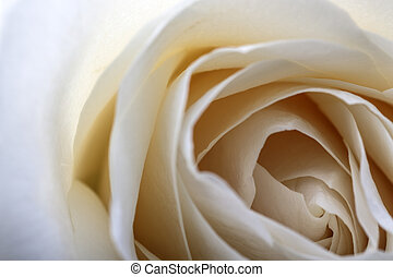 tło, róża, biały