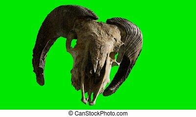 tło, zielony, chromakey, baran, czaszka