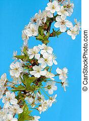 třešeň, květiny