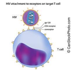 t, hiv, cellula, attaccamento