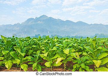 tabaco, fazenda, em, morning.