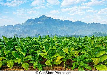tabaco, granja, en, morning.