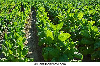 tabaco, leafs, en, un, plantación