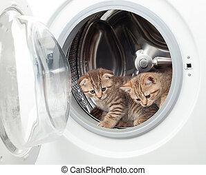 tabby, brittisk, kattungar, insida, tvättstuga, packning