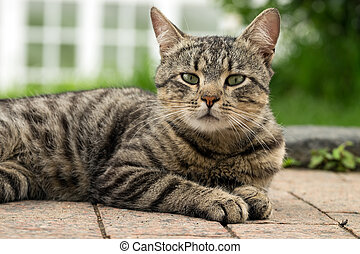 Tabby cat - A beautiful tabby cat lying on the pavement