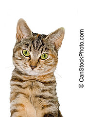 Tabby Cat - A young tabby cat portrait isolated