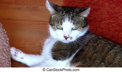 Tabby cat aggressive bites the hand