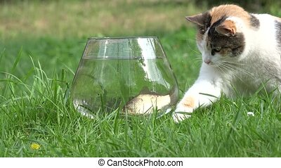 tabby cat catch fish from aquarium with water. Closeup. -...