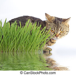 Tabby cat in grass with reflection in the water