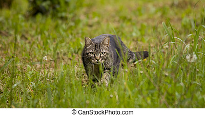 tabby cat in the grass